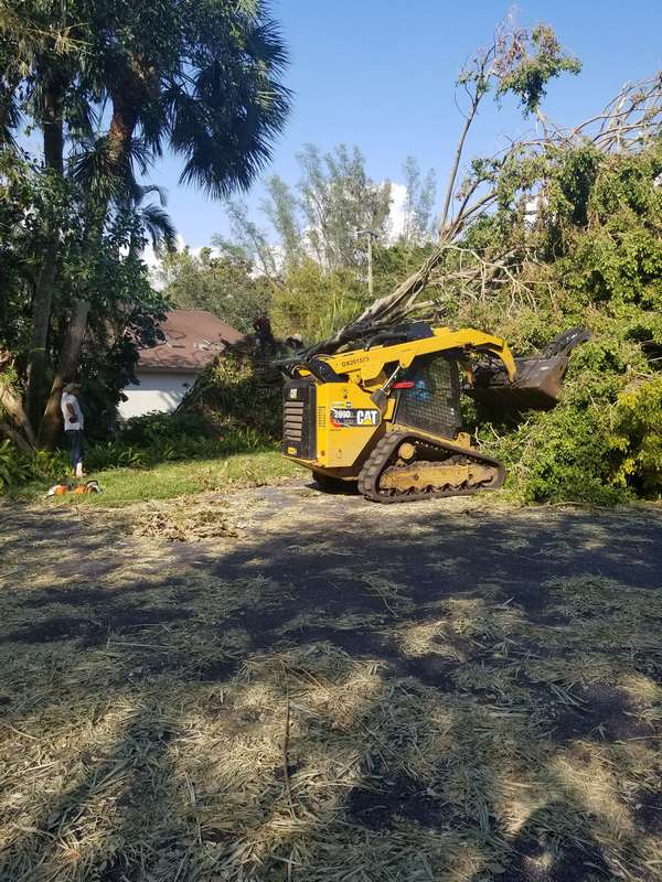 extra-large-ficus-tree-removal
